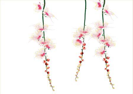 barringtonia: Barringtonia flowers on white background