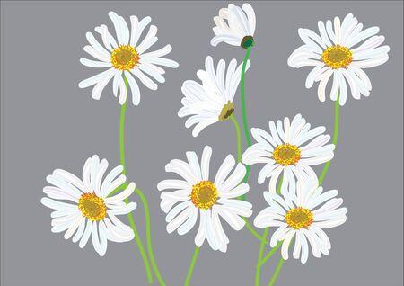 margarita blanca aislada dibujo ilustración .vector