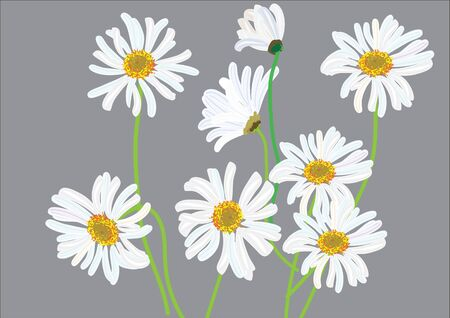 white daisy flowers isolated drawing .vector illustration