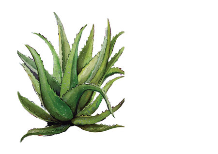 aloe vera.Han drawn watercolor painting on white background.Vector illustration Stock Photo