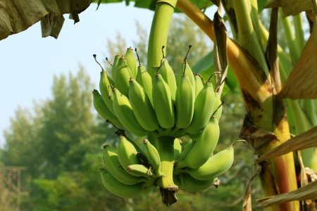 banana skin: Bunch of  bananas on  tree Stock Photo