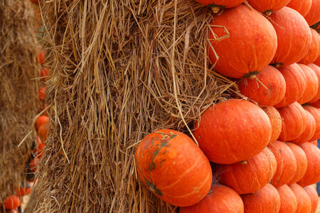 fall images: many pumpkin standing on a lawn