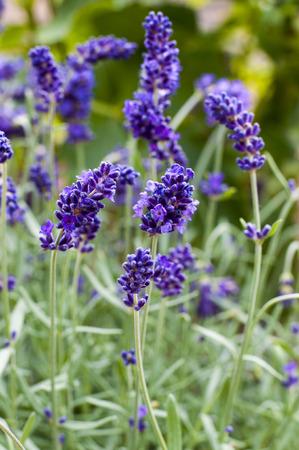 Lavender Zdjęcie Seryjne