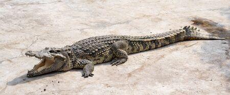 Large freshwater crocodile Sunbathing by the pool. 写真素材