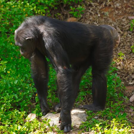 Chimpanzee,animal with brains nearby mankind.  Archivio Fotografico