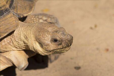Galapagos tortoise.walking relax, on soil.