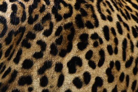 Real jaguar skin at magnificent.