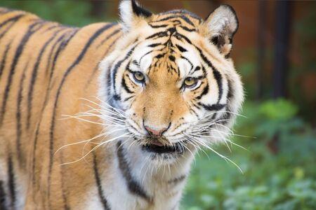 Tiger, A mammal in jungle