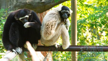 Gibbon White and black beautiful. sitting on tree. Reklamní fotografie
