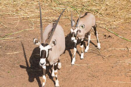 Picture gemsbok Standing Against on ground Reddish brown