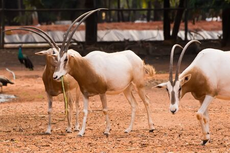 Scimitar-Horned Oryx (Oryx dammah) eating grass And going for a walking. 版權商用圖片