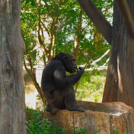 Chimpanzee,animal with brains nearby mankind.