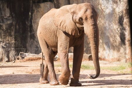 Picture african elephant,walking relax, play soil.