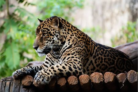 Magnificent Jaguar resting Lying on a tree trunk. Stock Photo