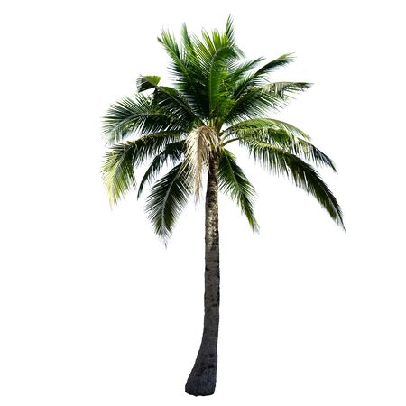 Coconut tree isolated on the white background.
