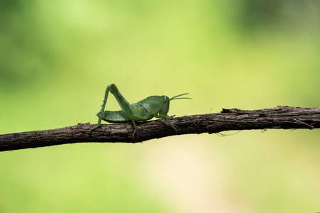 Image of green grasshopper, insect ,On a branch, on nature background. Stock Photo