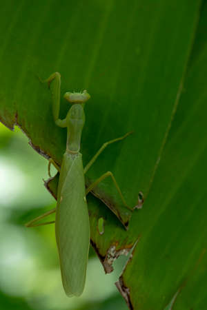 Mantis Praying at Perched on a brown and branch With a green background.