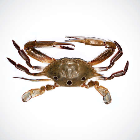 Fresh crab isolated on the white background