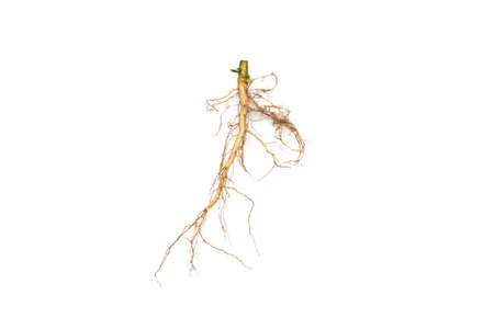 Roots of tree isolated on white background.