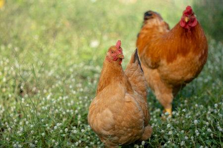 A chicken brown , Chicken breeder,Eating grass on the farm. Foto de archivo