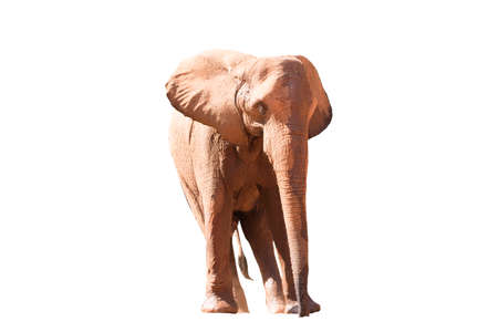 A picture of an African elephant in the foreground taking a relaxing walk isolated on the white background.