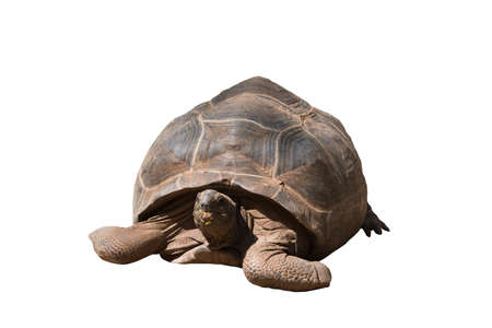 African species of tortoise, turtle (Centrochelys sulcata) isolated on the white background.