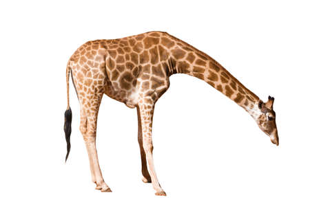 Giraffe long neck, long legsisolated spreading his legs and bowing his head on the white background. Standard-Bild