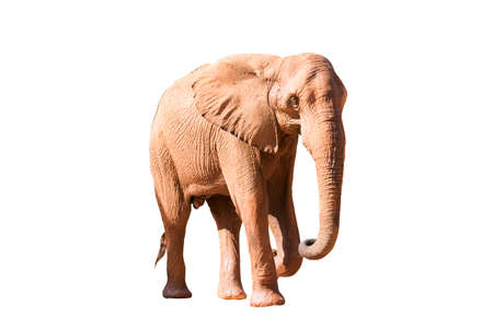A picture of an African elephant in the side ground taking a relaxing walk isolated on the white background.