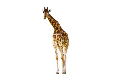 Giraffe long neck, long legs isolated on the white background.
