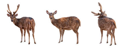 set style of Spotted deer,Cute spotted fallow deer isolated on the white background.