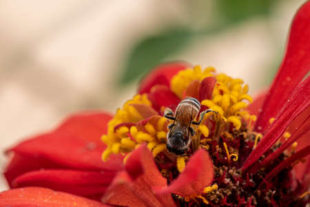 Close-up and selective focus bee image ,Little bee looking for nectar on red  flowers.