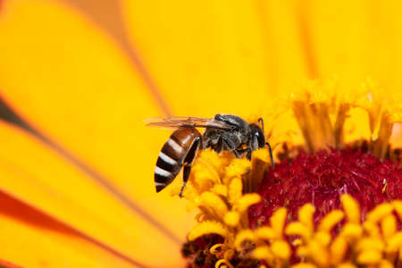 Close-up and selective focus bee image ,Little bee looking for nectar on yellow flowers.