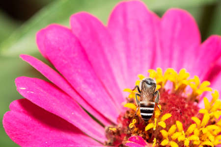 Close-up and selective focus bee image ,Little bee looking for nectar on pink flowers.