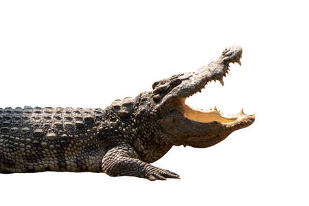 Close-up Large Crocodile open mouth isolated on white background.