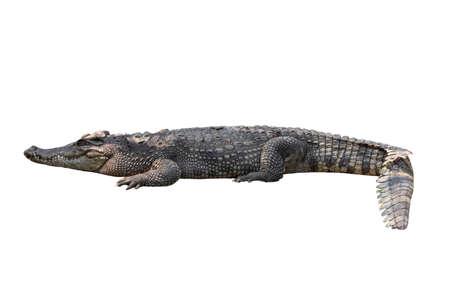 Close-up Large Crocodile image solated on white background.