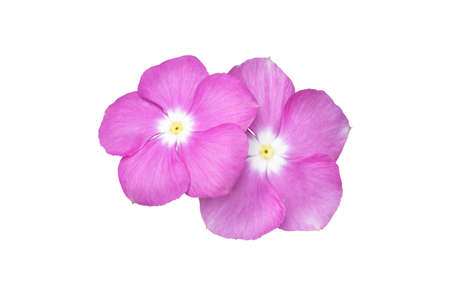 Image pink flowers isolated on the white background. Image easy editable pink flowers. Standard-Bild