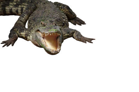 Image of a crocodile on the soil Amphibian Animals.isolated on the white background.