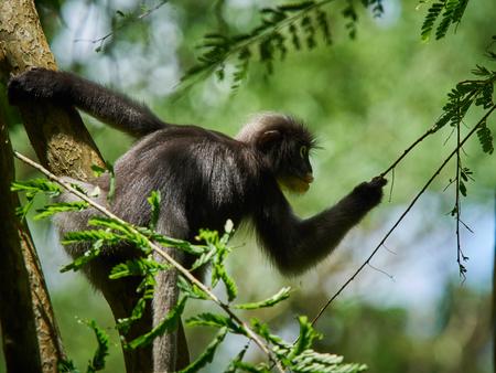 Dusky leaf monkey (Trachypithecus obscurus) on tree at Thailand Kaeng Krachan National Park, Thailand