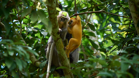 Young dusky leaf monkey (Trachypithecus obscurus) on tree at Kaeng Krachan National Park, Thailand