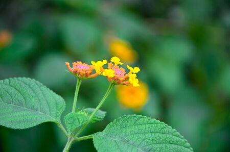 Flowers yellow starburst Stock Photo - 15709250