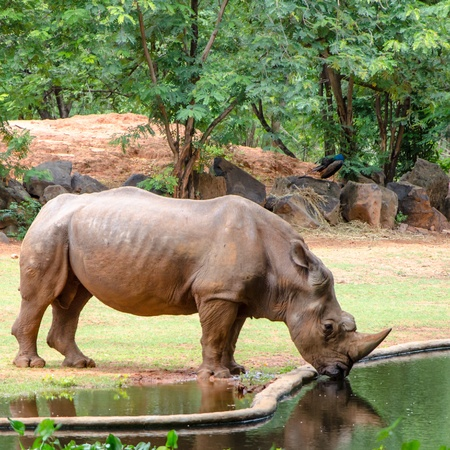 Rhinoceros drinking water at zoo  photo