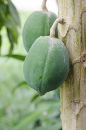 Green papaya on the papaya tree  photo