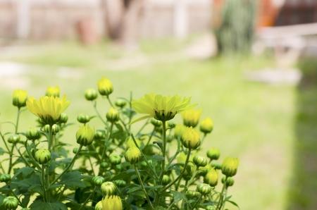 lindi: Beautiful Vintage flowers of chrysanthemums  Stock Photo