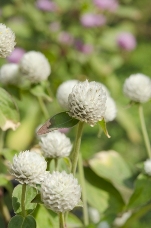 Globe amaranth or Gomphrena globosa flowers in the garden photo