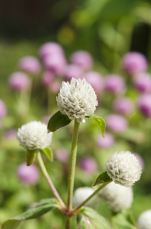 globosa: Globe amaranth or Gomphrena globosa flowers in the garden