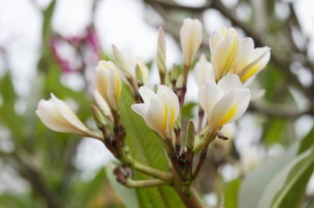 Macro Beautiful white flower in thailand, Lan thom flower,Frangipani,Champa photo