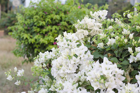 bougainvilleas: White bougainvilleas on nature background. Stock Photo