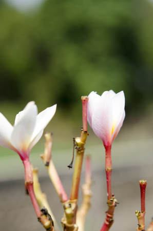 champa flower: Beautiful white and pink flowers in thailand, Lan thom flower,Frangipani,Champa.
