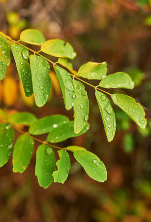 Drops of transparent rain water on green leaf. Beautiful leaf texture in nature. Natural background. Raindrops, fresh, juicy, beautiful tree leaf. Summer, spring, autumn background. Stockfoto