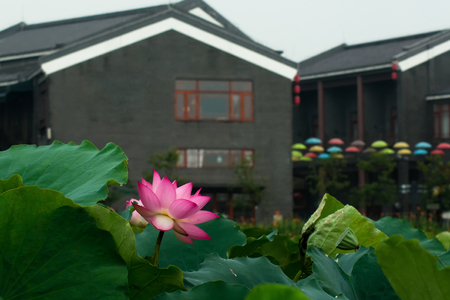 Lotus in front of the ancient buildings
